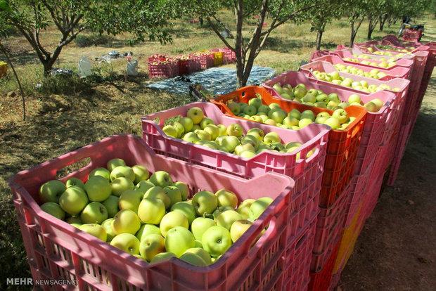 ممنوعیت صادرات سیب درختی و پرتقال لغد شد/ بلاغ تصمیم تازه به گمرک